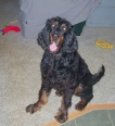 Gordon Setter, 6 months, Black